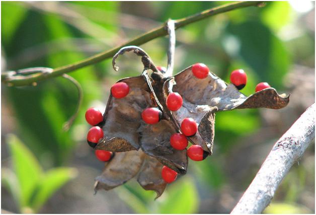 Rosary Pea