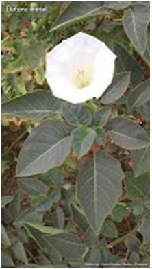 Talumpunay Tree or Cachubong